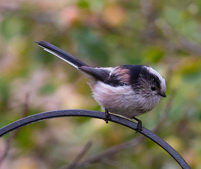 Long Tailed Tit, Bird, Small Bird, Long Tailed Bushtit