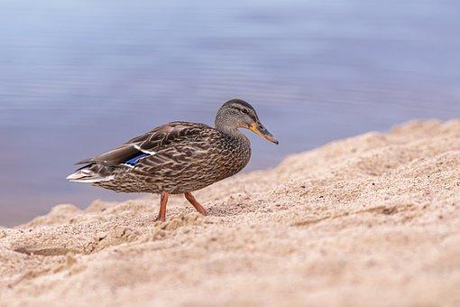 Duck, Mallard, Waterfowl, Bird, Water Bird