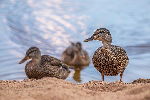 Ducks, Mallards, Waterfowls, Birds, Water Birds