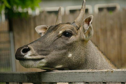 Roe, Deer, Roe Deer, Animal Portrait, Animal, Mammal