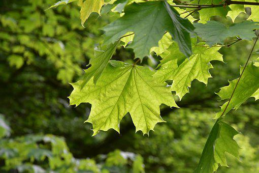 Leaves, Maple, Maple Leaves, Foliage, Maple Tree, Trees