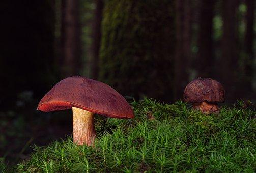 Witches Placidus, Mushrooms, Mushroom, Forest Mushroom