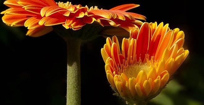 Gerbera, Daisies, Orange Daisies, Orange Flowers