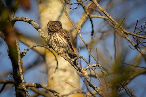 Eurasian Pygmy Owl, Glaucidium Passerinum, Owl, Perched