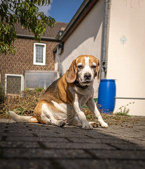 Beagle, Dog, Pet, Canine, Sit, House, Animal Portrait