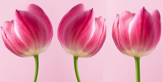 Tulips, Pink Tulips, Flowers, Pink Flowers, Bloom