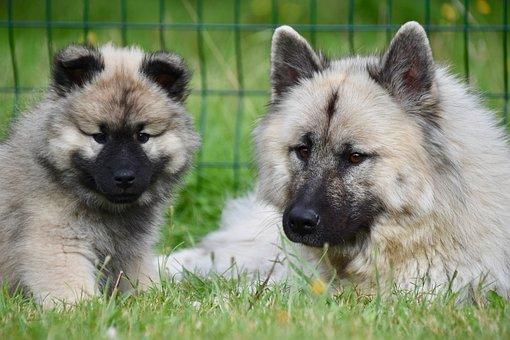 Eurasier, Dogs, Puppy, Eurasian Dogs, Adorable Dogs