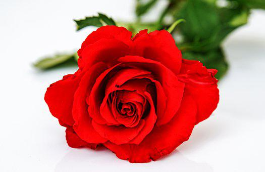 Red Rose, Rose, Flower, Red Flower, Bloom, Blossom