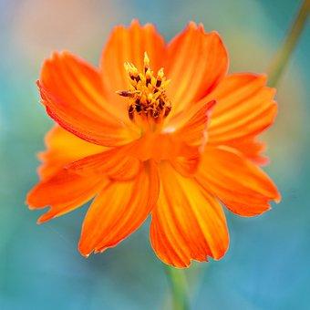 Flower, Cosmos, Sulfur Cosmos, Orange Flower