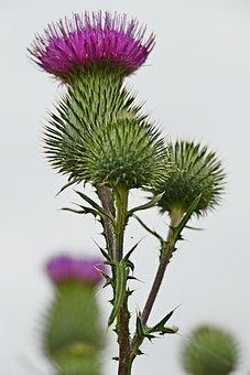 Thistle, Flower, Buds, Spear Thistle, Bull Thistle
