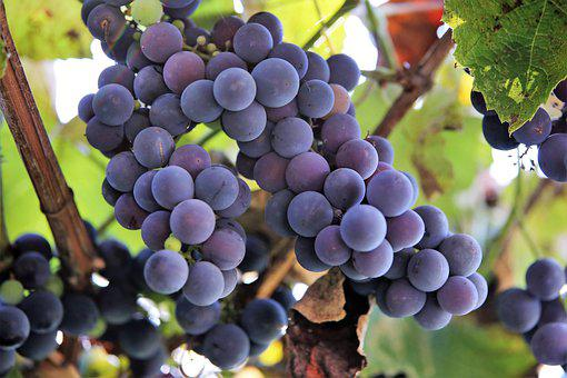 Isabella Grapes, Fruits, Vines, Vineyard, Grapevines