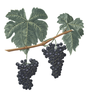 Grapes, Grapevine, Fruit, Plant, Leaves, Vitis, Food
