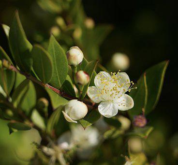 Myrtle, Flowers, Bush, White Flowers, White Petals