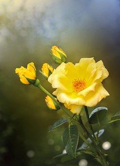 Flower, Rose, Yellow Flower, Yellow Rose, Yellow Petals