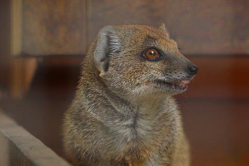 Red Meerkat, Yellow Mongoose, Animal, Mammal, Mongoose