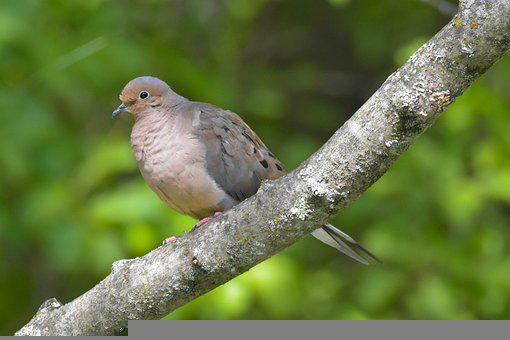 Mourning Dove, Bird, Bird Perched On A Branch, Branch
