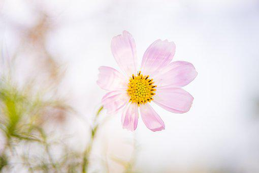Cosmos, Pink Cosmos, Flower, Pink Flower, Plant, Bloom