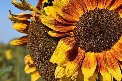 Sunflowers, Flowers, Petals, Plants, Bloom, Blossom