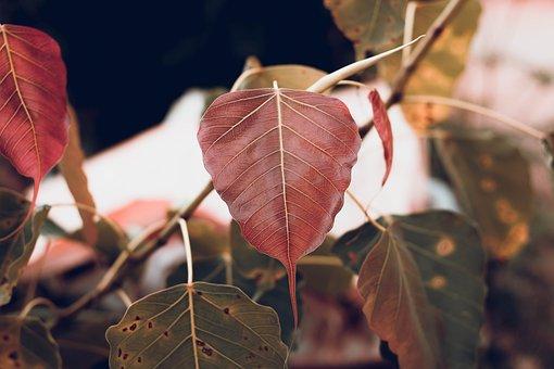 Leaves, Branch, Bo Leaf, Bo Tree, Sacred Fig