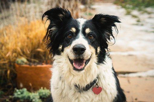 Dog, Border Collie, Pet, Cute, Sit, Animal Portrait