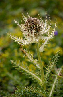 Thistle, Thorny, Flower, Flora, Botany