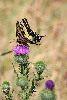 Butterfly, Swallowtail, Thistle, Insect, Flying Insect