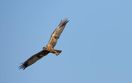 Common Buzzard, Bird, Flight, Flying, Bird Of Prey