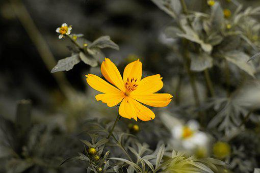 Cosmos, Yellow Cosmos, Yellow Flower, Buds, Flower