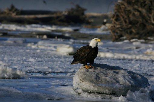 Eagle On Ice, Eagle, Perched, Avian, Ornithology, Cold