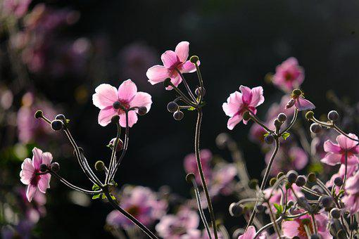 Japanese Anemones, Flowers, Pink Flowers, Fall Anemones