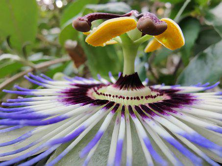 Flower, Passion Flower, Petals, Flowering, Bloom