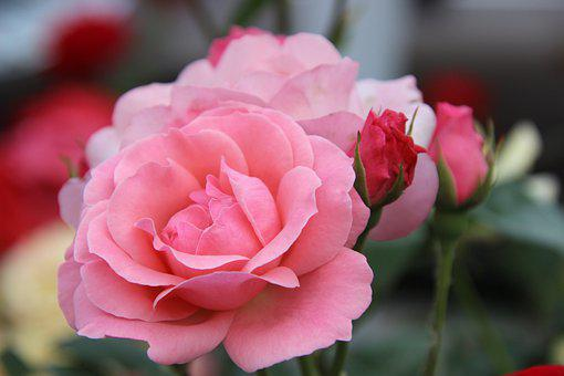 Roses, Pink Roses, Flowers, Pink Petals, Plant