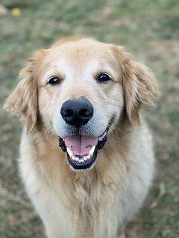 Golden Retriever, Dog, Pet, Happy, Cute, Adorable