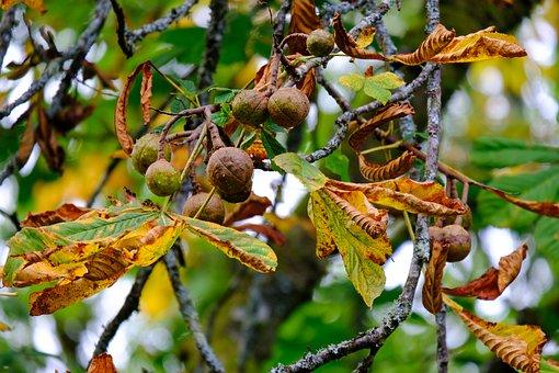 Nuts, Seeds, Leaves, Acorn, Tree, Harvest, Natural