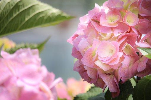 Hydrangea, Flowers, Pink Flowers, Blossom, Bloom, Plant