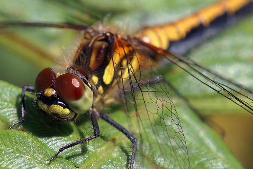 Dragonfly, Darter Dragonfly, Insect, Entomology