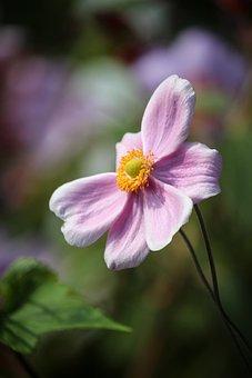 Japanese Anemone, Pink Flower, Flower