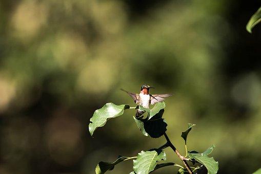 Hummingbird, Flying, Nature, Wildlife, Leaves, Foliage