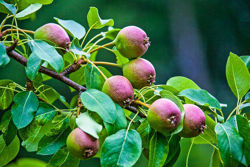 Pears, Fruits, Organic, Harvest, Produce, Leaves