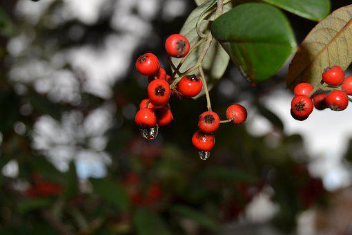 Tree, Branch, Berries, Leaves, Foliage, Nature, Flora