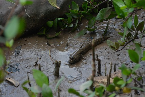 Fish, Mud Skipper, Mud, Mud Fish, Vietnam, Nature