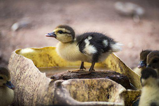 Duckling, Duck, Baby Duck, Bird, Newborn, Animal, Farm