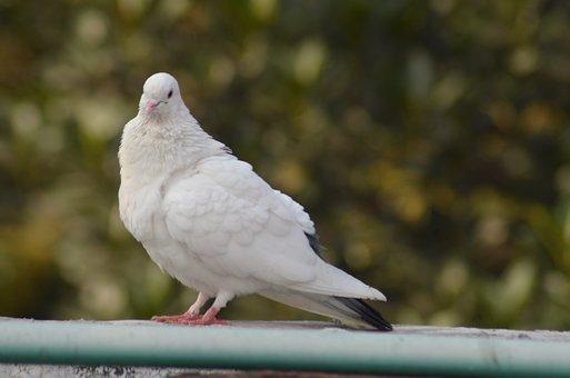 Bird, Pigeon, Feathers, Plumage, Beak, Avian, Animal