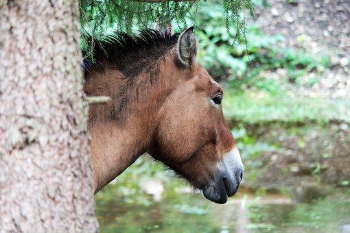 Wild Horses, Horses, Animals, Przewalski Horse, Takhi