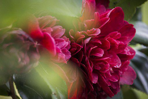 Camellia, Red Camellia, Red Flowers, Flowers, Plant