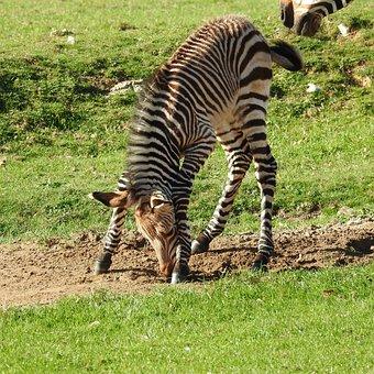Zebra, Foal, Baby, Stripes, Wild, Stretch, Safari