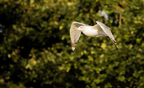 Seagull, Gull, Flight, Flying, Bird, Seabird, Avian