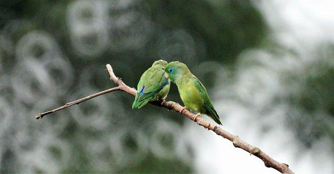 Parakeets, Birds, Couple Birds, Avian, Small Birds
