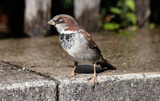 Bird, Sparrow, Sperling, Animal, Nature, Plumage