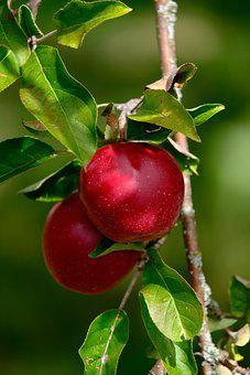Apples, Red Apples, Apple Tree, Fruit, Tree, Branches
